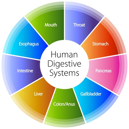 digestive system: An image of a human digestive systems. Illustration