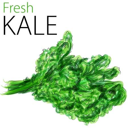 Une image d'un dessin aquarellé de chou frais. Vecteurs
