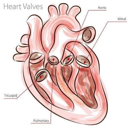 aortic: An image of a heart valves watercolor chart. Illustration