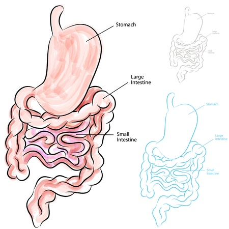 large intestine: An image of a human digestive system.