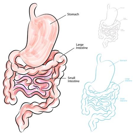 intestino grueso: Una imagen de un sistema digestivo humano.