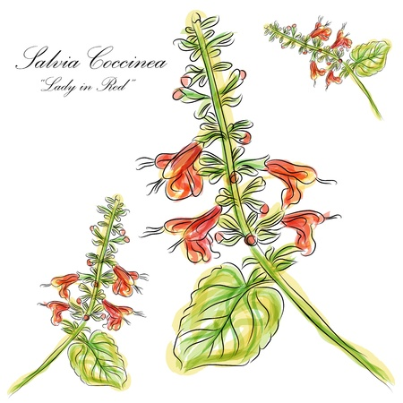 white salvia: An image of a watercolor Salvia Coccinea lady in red flower.