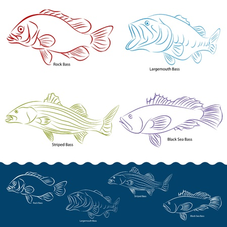 sea bass: An image of a four types of bass fish.