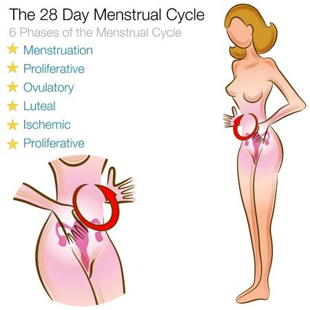 aparato reproductor: Una imagen de un ciclo menstrual femenino.