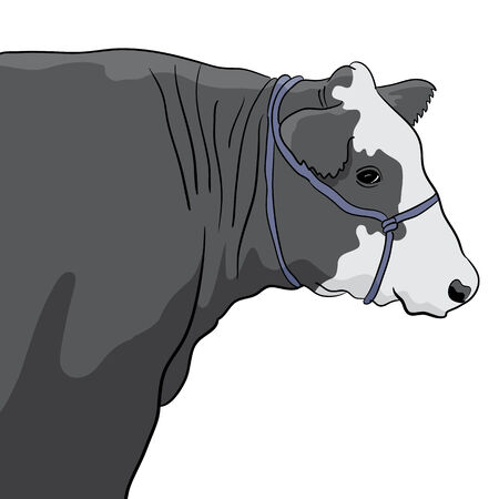 A close up image of a black and white cow.