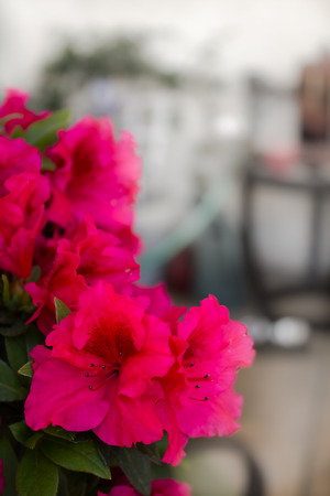 greeen: An image of a red bird azalea plant.