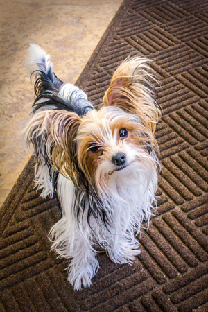 yorkie: An image of a parti yorkie puppy. Stock Photo