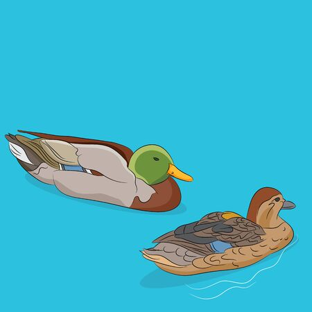 dabbling: An image of a male and female mallard duck swimming in water.