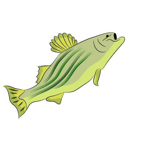 the perch: An image of a bass fish. Illustration