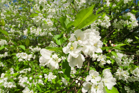 white flowers and green leafs of the wild apple tree photo