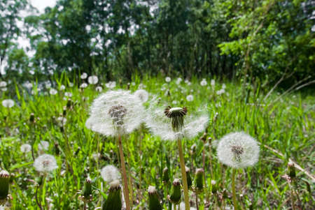 white dandelions in the weed green grass on trees background photo