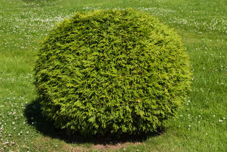 green bush shaped ball on the clovers background Stock Photo - 7753428