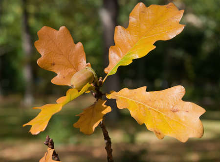 ripe acorn of oak tree on the branch with yellow leaves photo