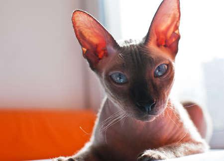esfinge: Esfinge del gato Foto de archivo