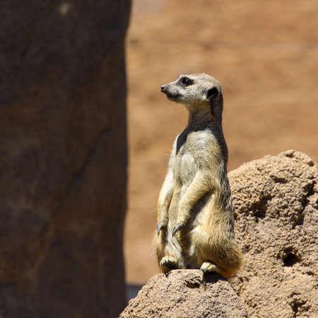 Meerkat standing lookout in square format Stok Fotoğraf - 20561548