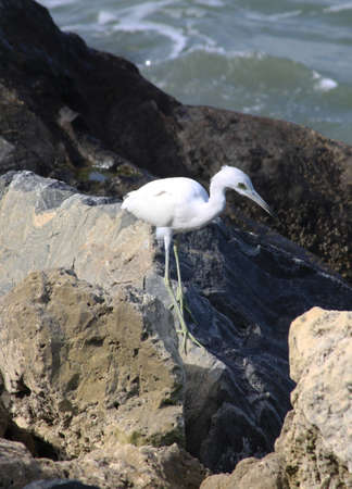 Blue Heron Hunting Among Rocks