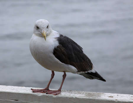 Seagull waiting in the rain for food at the Santa Cruz Wharf Stok Fotoğraf