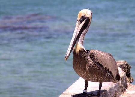 バック グラウンドでカリブ海の海と桟橋の壁に大きな茶色のペリカンのクローズ アップ