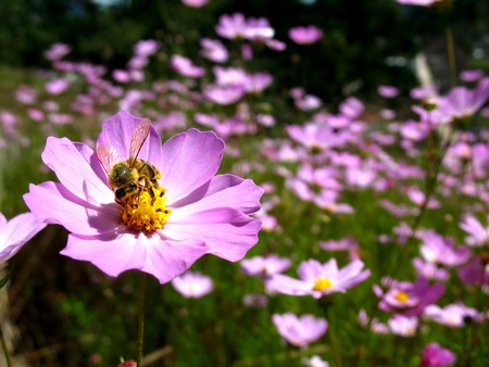 Bee in a field of flowers Stok Fotoğraf - 13917934