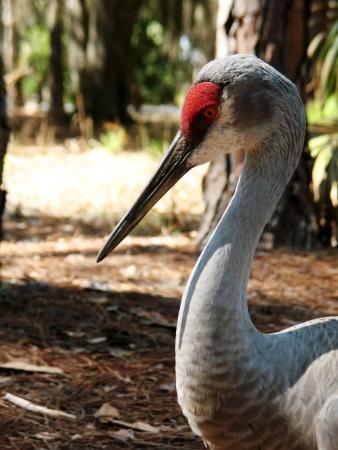 sandhill crane: Sandhill Crane in Central Florida