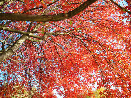 Red autumn leaves Stok Fotoğraf - 13918716