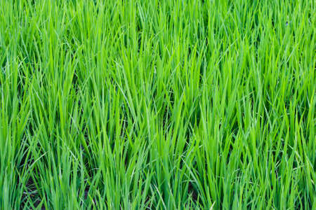 agriculturalist: Rice Paddy