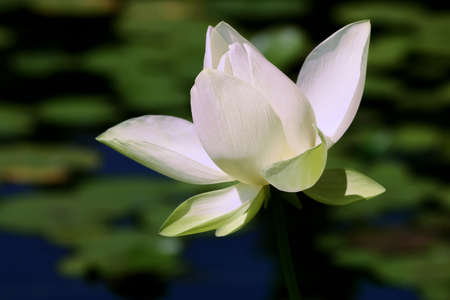 stock: White lotus flower close up at the lilly and lotus pond.