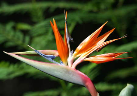 Bird of Paradise Flower with Green Background photo
