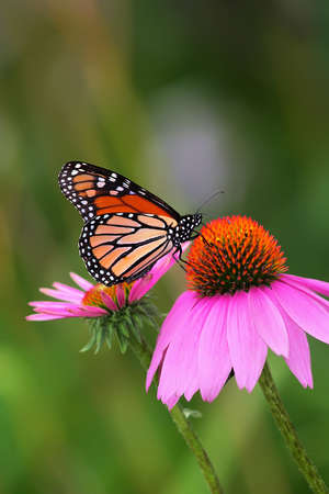 colorful butterfly: Monarch on Coneflower