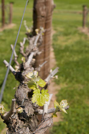 viticulture: Grape Vine with first growth of the new season