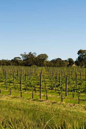 free stock: Royalty free stock photo of vineyards in clarendon, south australia