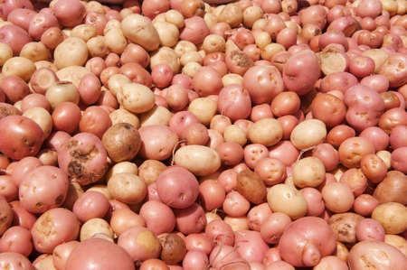 A large quantity of Freshly harvested potatoes
