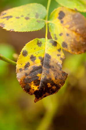 Close-up van de zwarte vlek ziekte (sterroetdauw) op een roos blad