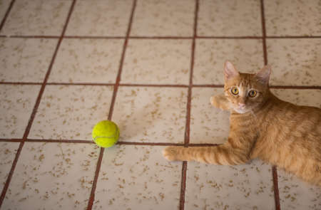 humor: Ginger tabby playing with a ball on the floor. Stock Photo