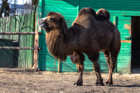 one humped: Brown camel in zoo