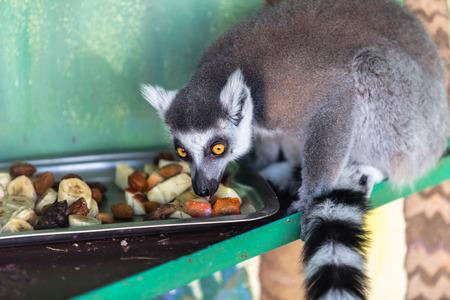 and diurnal: Lemur eating fruit Stock Photo