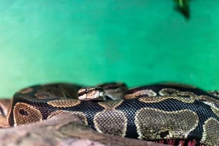 constrict: Snake in terrarium