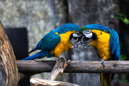 inseparable: Two playing parrots in love