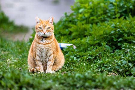 little bell: Red cat sitting on green grass with collar and little bell Stock Photo