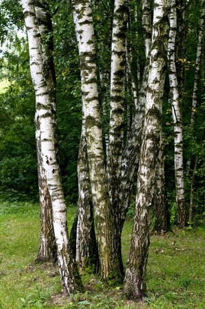 Birch forest in Russian Federation in Moscow photo