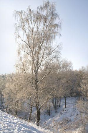 blanketed: BEAUTIFUL BIRCH TREE