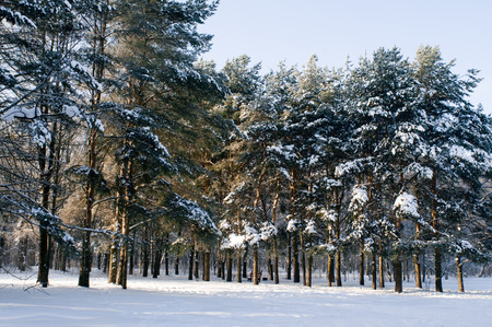 blustery: winter in pine forest