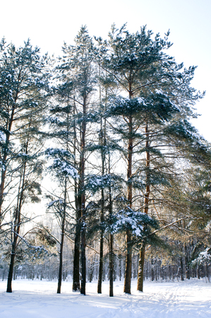 blanketed: Pine tree under snow Stock Photo