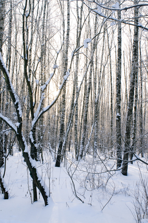 blustery: Beautiful trees in winter in the forest