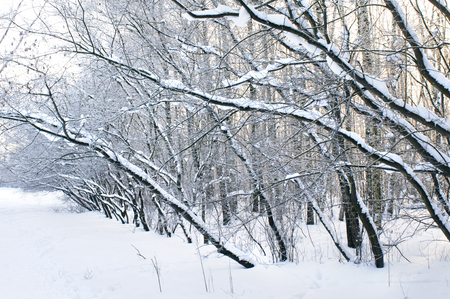 blanketed: Trees under snow in winter park