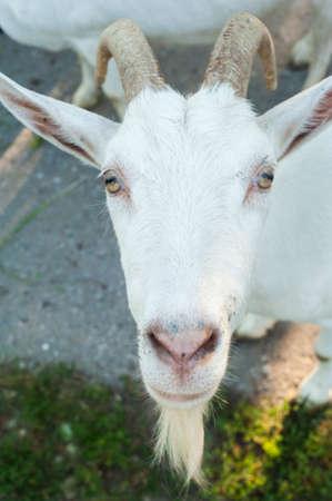 closeup cow face: Curious White goat Stock Photo