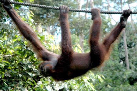 orangutang: Orangutan climbing a rope in Borneo Stock Photo