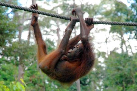 orangutang: A baby orangutang is climbing a rope in Borneo.