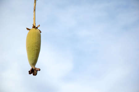 exotic fruit: The fruit of a Baobab tree located in Africa e.g. Madagascar and Gambia Stock Photo
