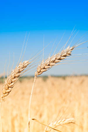 spikelets: spikelets of wheat against the blue sky